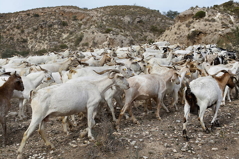 goats by Rene de Haan for Stocksy United