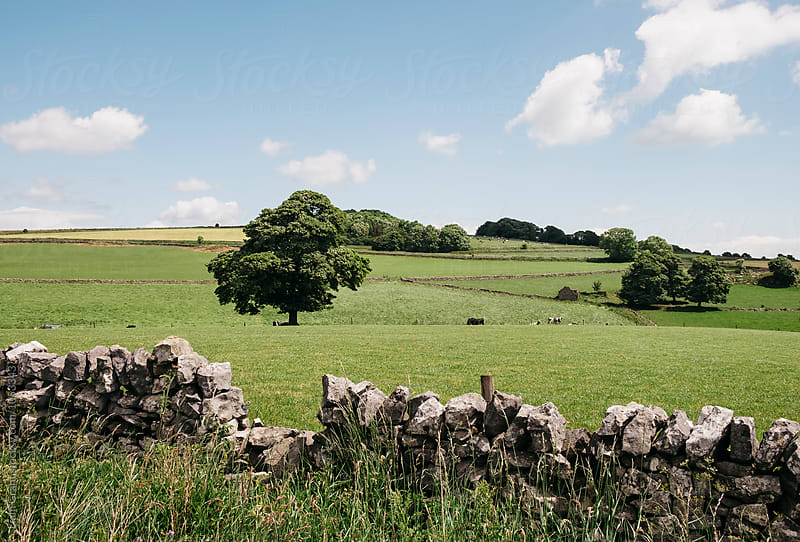 Tree and grazing cattle. Derbyshire Dales, UK. by Liam Grant for Stocksy United
