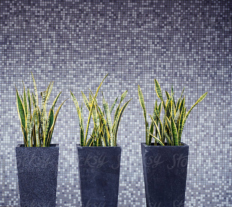 Snake plant in front of gray mosaic tiled wall by Lawren Lu for Stocksy United