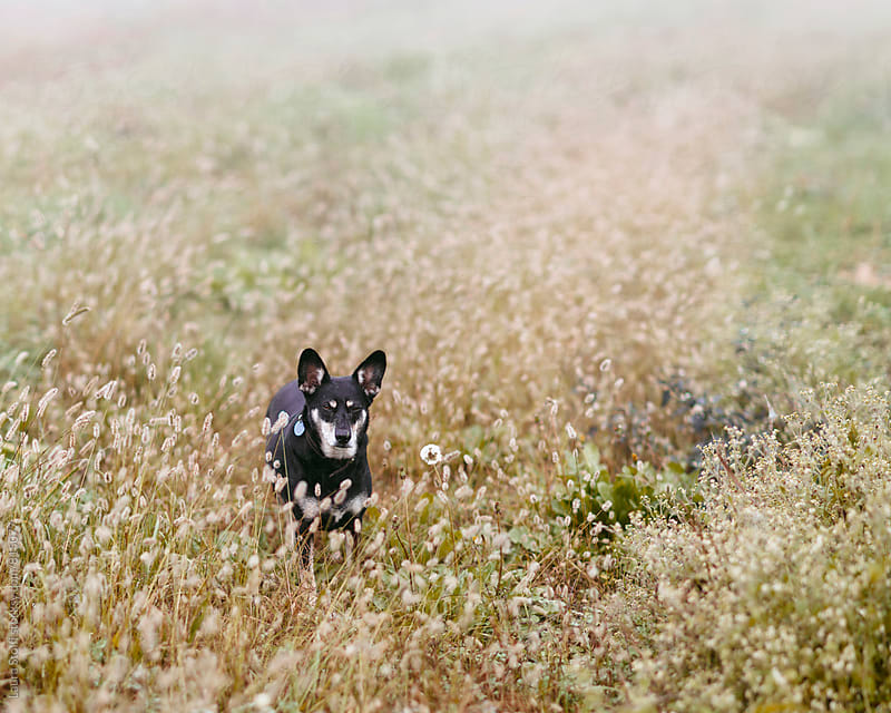 Little dog stands amongst spikes and flowers in foggy field by Laura Stolfi for Stocksy United