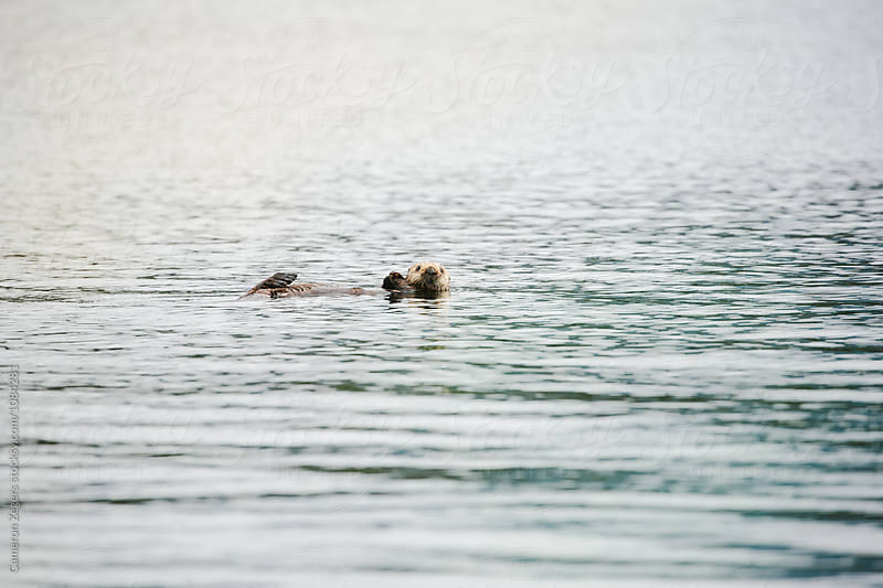 sea otter floating on back in water by Cameron Zegers for Stocksy United