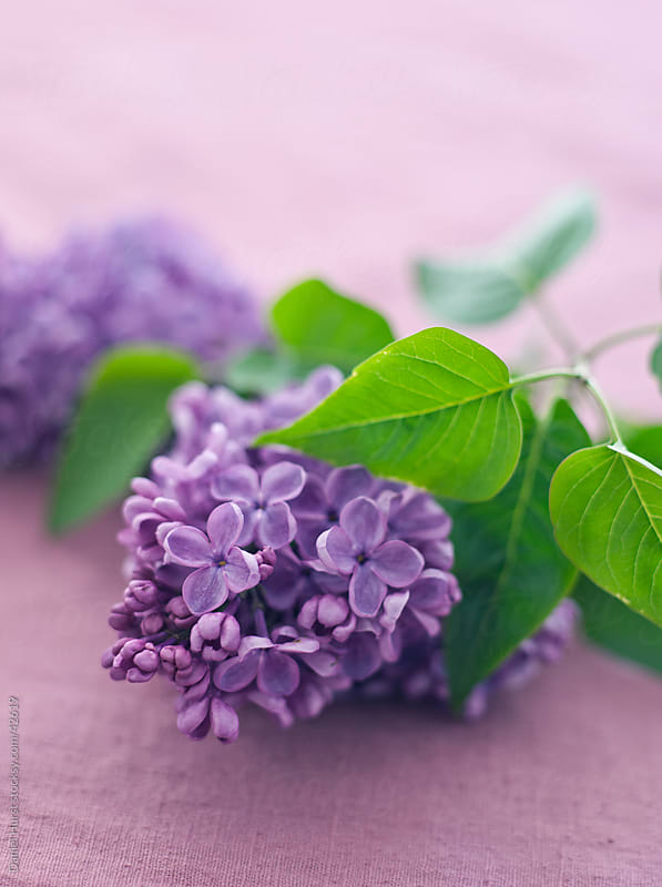 Closeup of shot of Lilac flowers by Daniel Hurst for Stocksy United