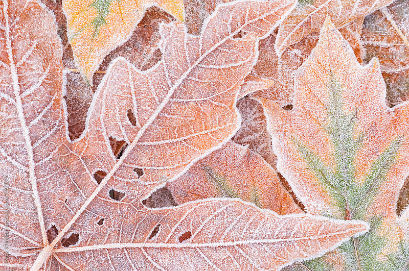 Bigleaf maple leaves and frost, closeup by Mark Windom for Stocksy United
