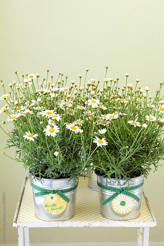 Daisies in aluminum silver pots on distressed wood table by Sherry Heck for Stocksy United