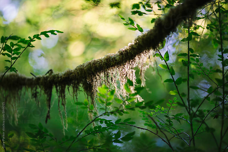 A tree branch with moss growing on it backlit against a green forest by Gary Parker for Stocksy United