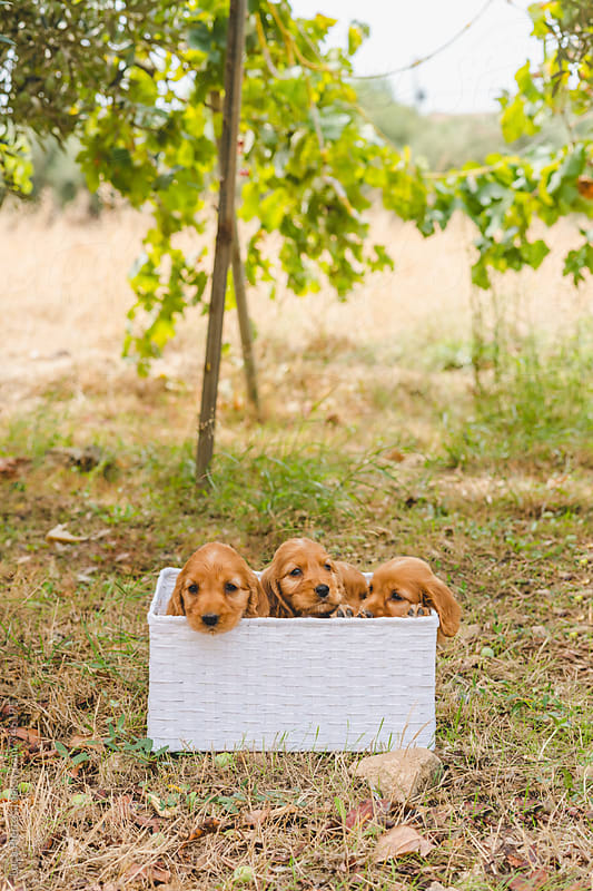 White basket filled with a litter of american cocker spaniel puppies  by Luca Pierro for Stocksy United