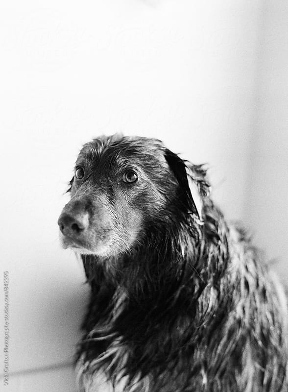 Doggie Bath Time  by Vicki Grafton Photography for Stocksy United