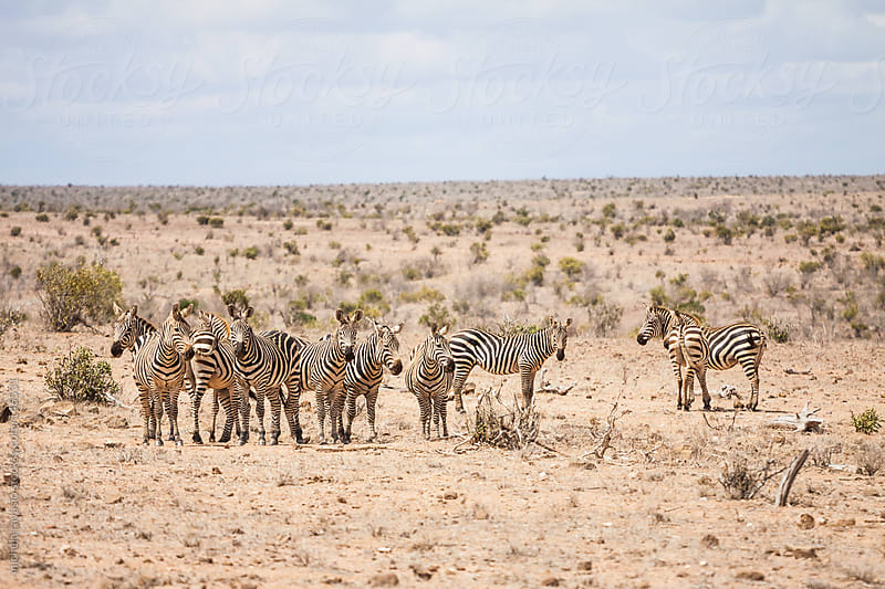 Zebras in the savannah by michela ravasio for Stocksy United
