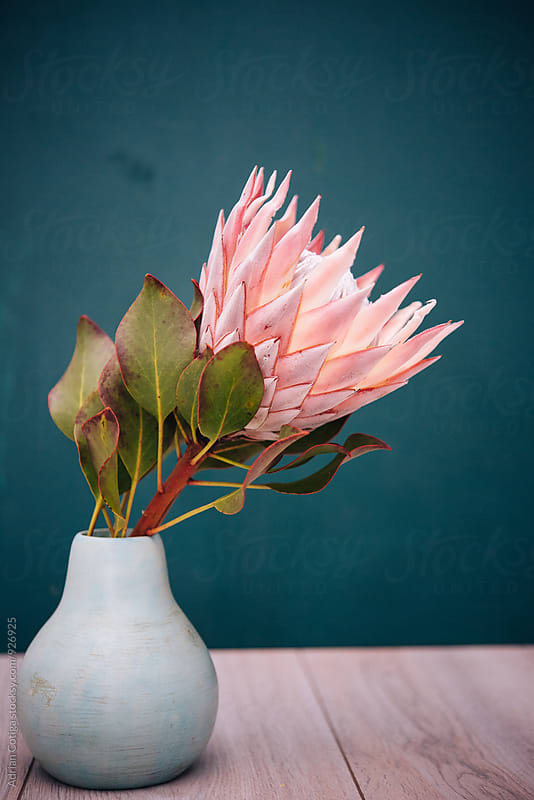 King protea by Adrian Cotiga for Stocksy United