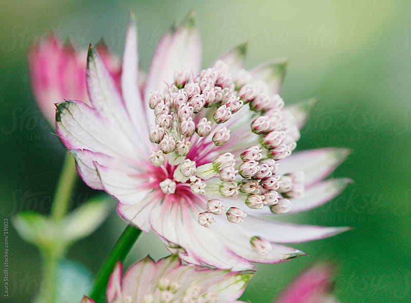 Extreme close-up of pink masterwort (Astrantia major Primadonna) flower and buds by Laura Stolfi for Stocksy United