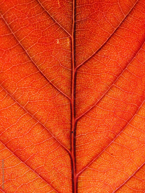 autumn leaf close-up by rolfo for Stocksy United