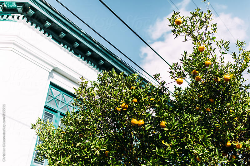 Oranges Growing on Power Line by Christian Gideon for Stocksy United