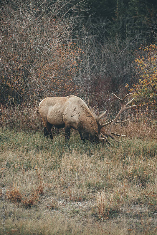 Elk in Jasper National Park by Jake Elko for Stocksy United