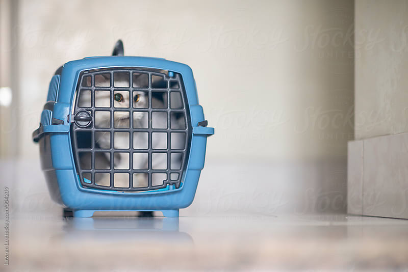 White cat trapping in portable cage by Lawren Lu for Stocksy United