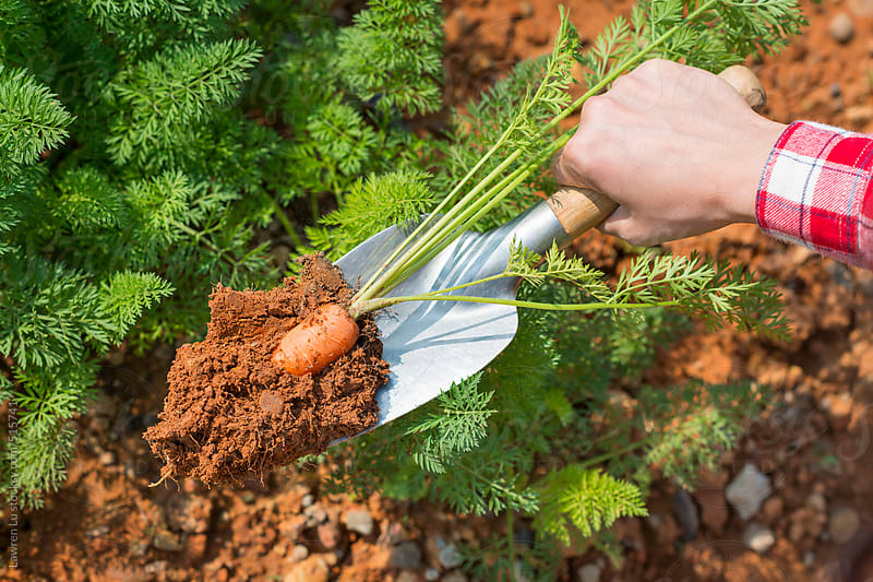 Person digging up fresh carrots by Lawren Lu for Stocksy United