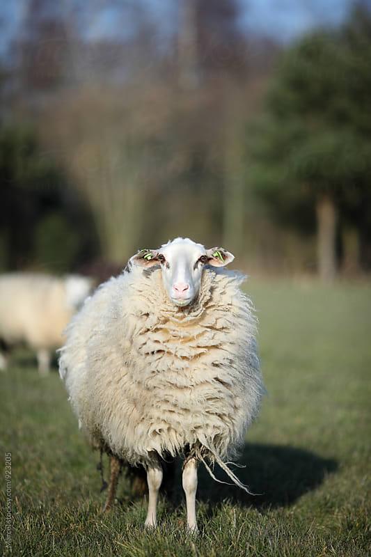 Proud sheep in wintercoat by Marcel for Stocksy United