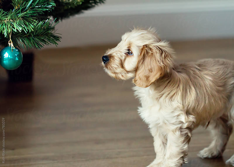 Cockapoo at Christmas by Ruth Black for Stocksy United