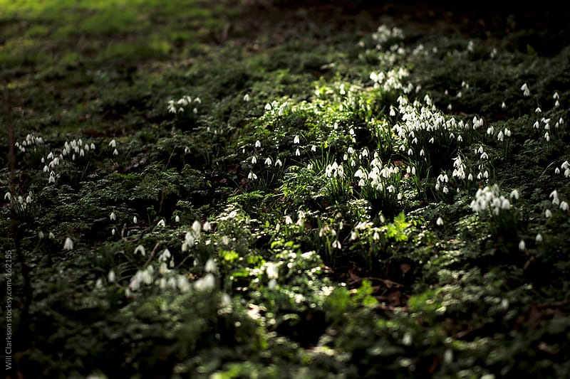 A spring bed of snowdrops in the morning light by Will Clarkson for Stocksy United