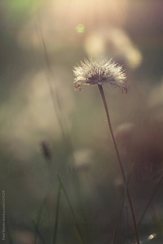 Dandelion bathing in sunlight by Pixel Stories for Stocksy United