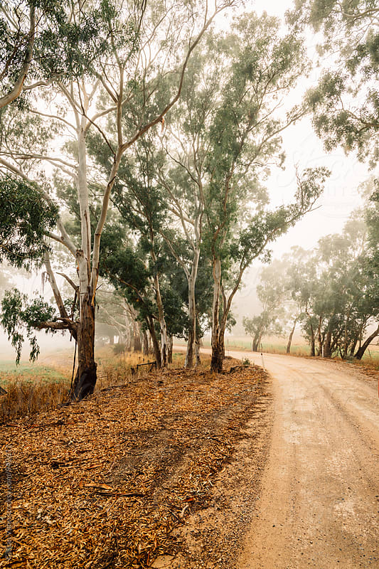 rural scene, country dirt roads in the morning mist, with gum trees by Gillian Vann for Stocksy United