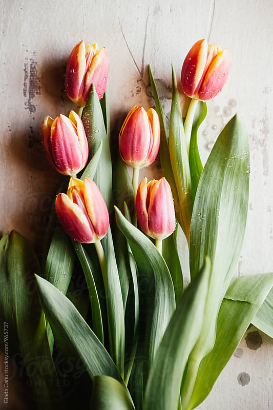 Tulips on white background by Giada Canu for Stocksy United