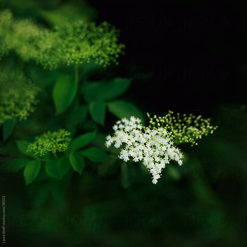 Close-up of elderberry flowers in bloom on the tree by Laura Stolfi for Stocksy United
