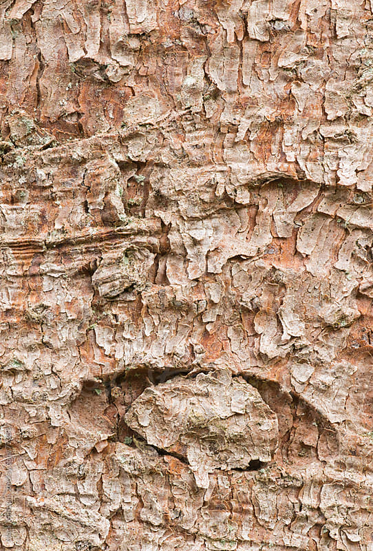 Weeping Norway Spruce bark, closeup by Mark Windom for Stocksy United
