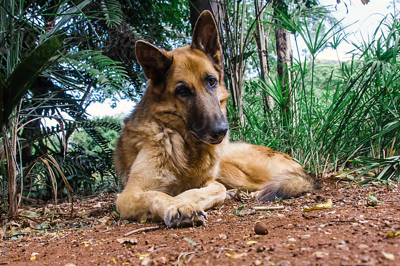 A German Shepherd rests in the cool dirt. by Holly Clark for Stocksy United
