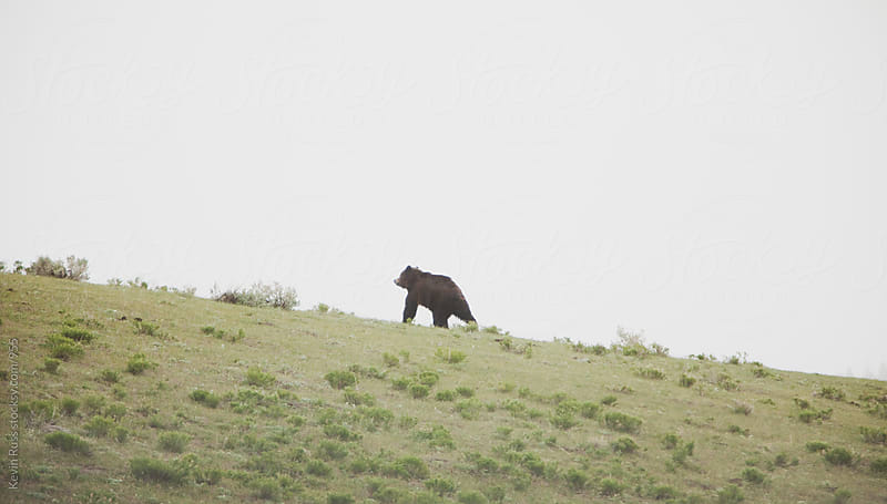 Bear Walking Up Hill by Kevin Russ for Stocksy United