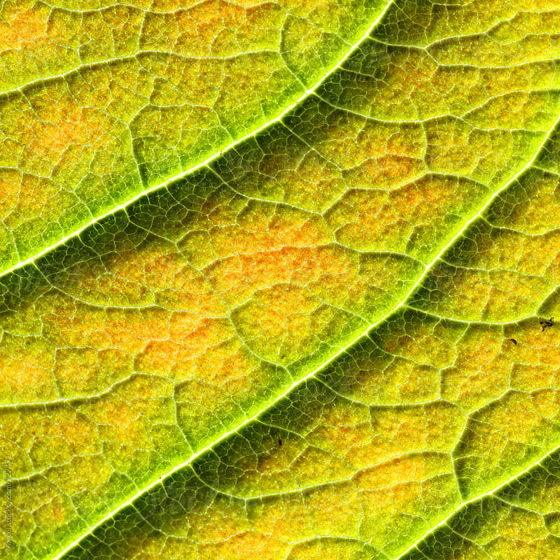 Autumn leaf macro by Marcel for Stocksy United