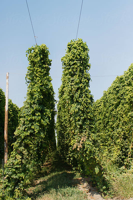 Rows of hop plants  by Tana Teel for Stocksy United