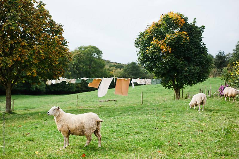 Sheep in a country garden with washing on a clothesline by Suzi Marshall for Stocksy United