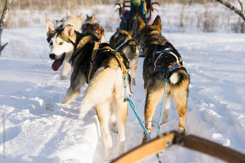 sledding Husky having fun by Juri Pozzi for Stocksy United