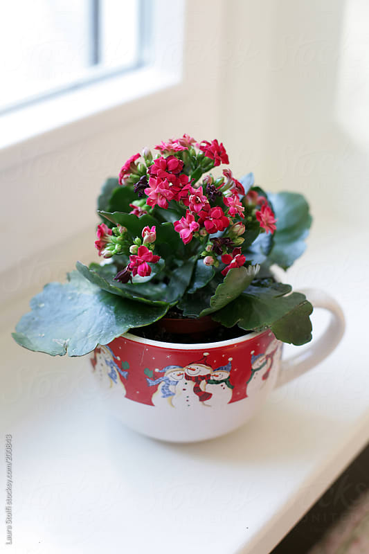 Wintry blossom: red flowers in bloom in cup decorated with snowmen on windowsill by Laura Stolfi for Stocksy United