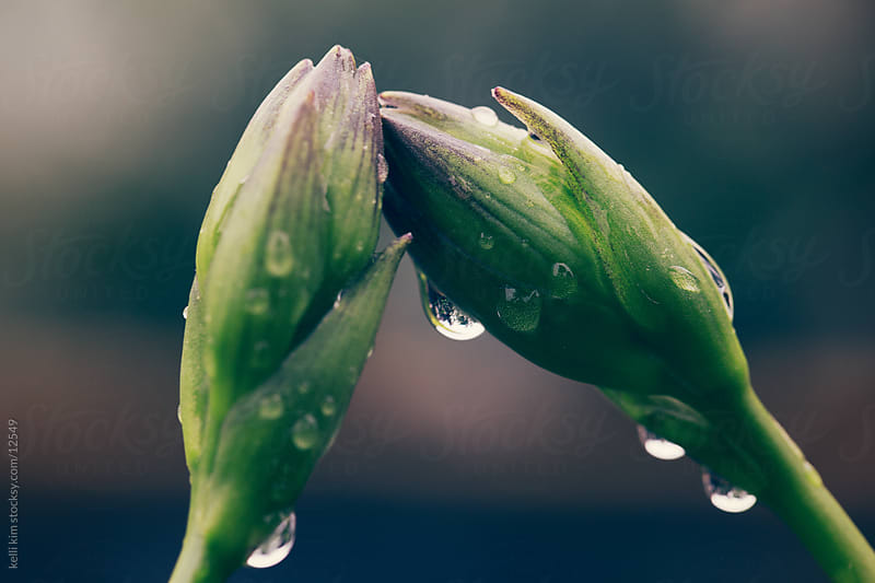 Macro image of flower buds covered in water drops by kelli kim for Stocksy United