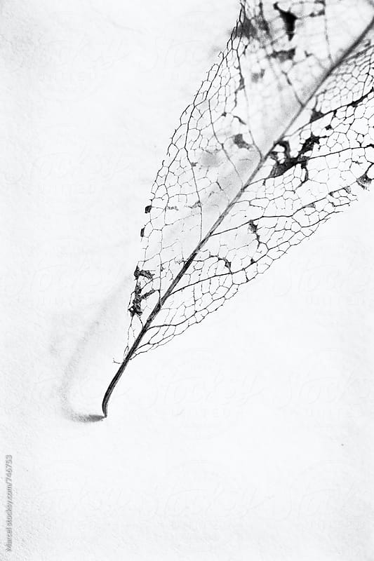 delicate remains of a leaf, on a paper background by Marcel for Stocksy United