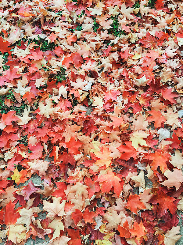 Colorful autumn leaves scattered on the ground by Holly Clark for Stocksy United