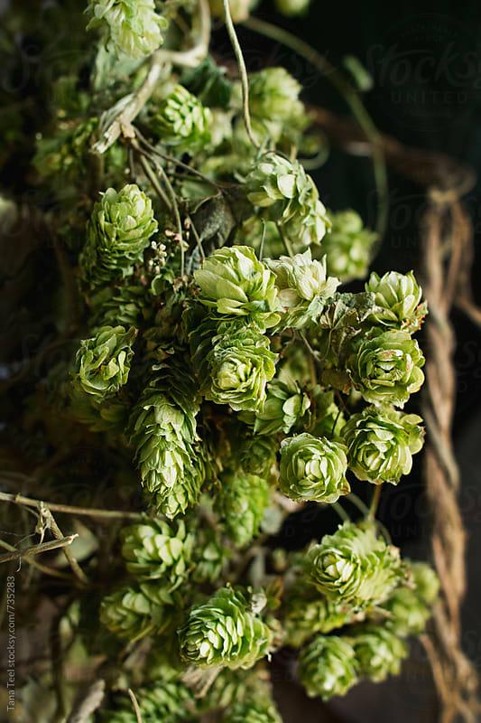 Vine of hops against rustic wood by Tana Teel for Stocksy United