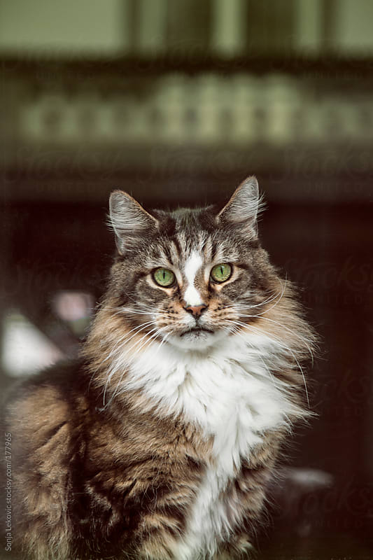 cat with green eyes looking at camera by Sonja Lekovic for Stocksy United