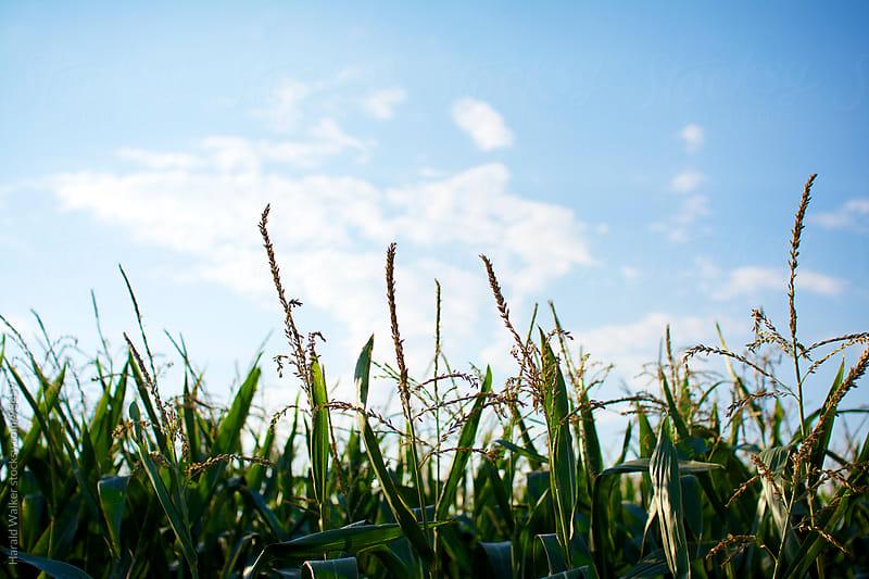 Corn field by Harald Walker for Stocksy United