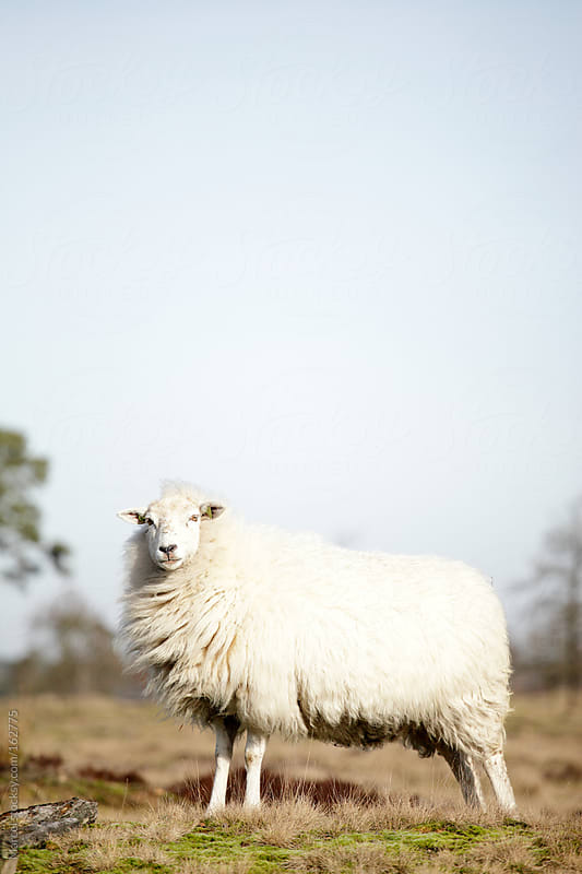 Sheep posing by Marcel for Stocksy United