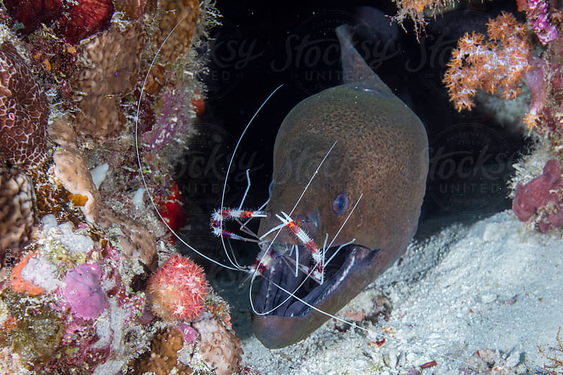 moray eel and boxing shrimp by Song Heming for Stocksy United