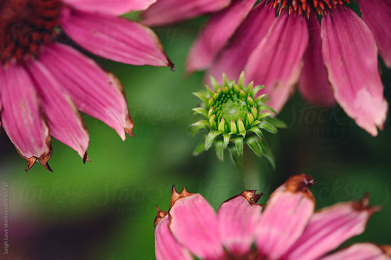 Pink Coneflowers and New Flower Bud by Leigh Love for Stocksy United