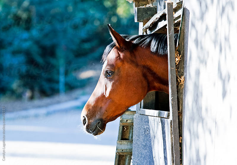 Horse sticking his head out of the window in his barn by Carolyn Lagattuta for Stocksy United