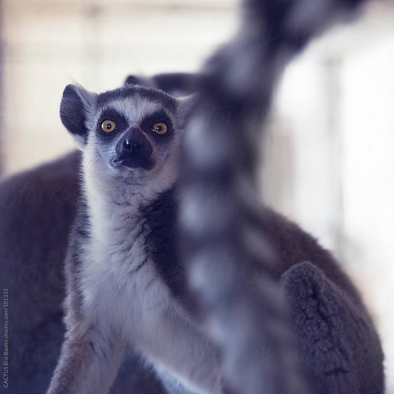 Ring-tailed lemur by CACTUS Blai Baules for Stocksy United