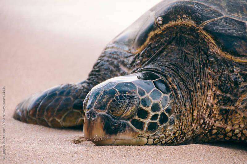Sea turtle sleeping on beach by Alejandro Moreno de Carlos for Stocksy United