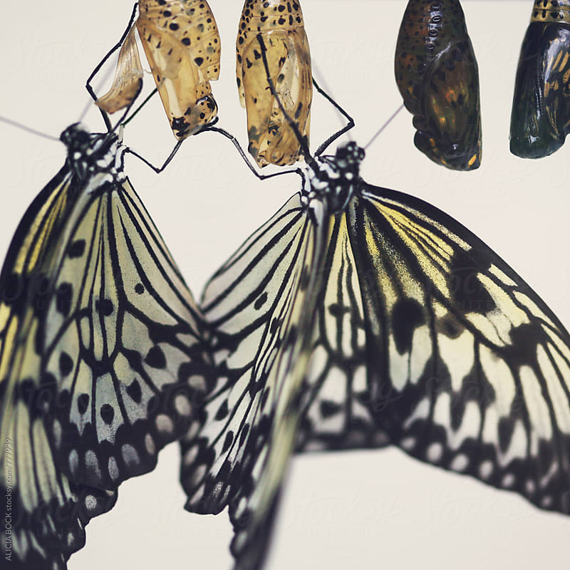 Close Up Of Butterflies Who Have Recently Emerged From Their Chrysalis by ALICIA BOCK for Stocksy United