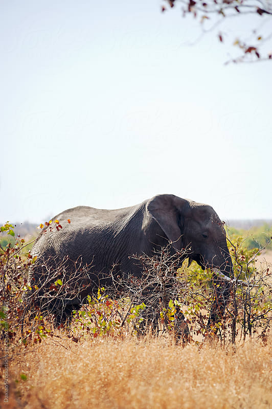 Elephant in the wild by Daxiao Productions for Stocksy United