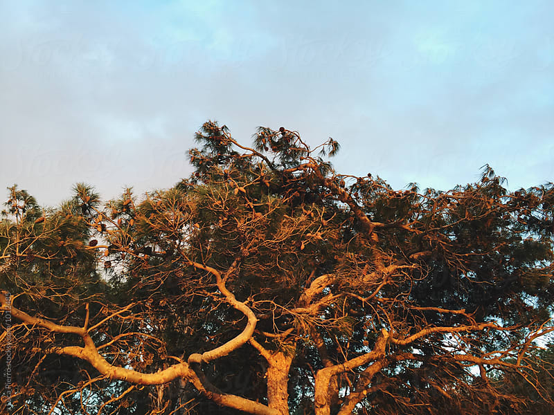 Tree in sunset light by Luca Pierro for Stocksy United