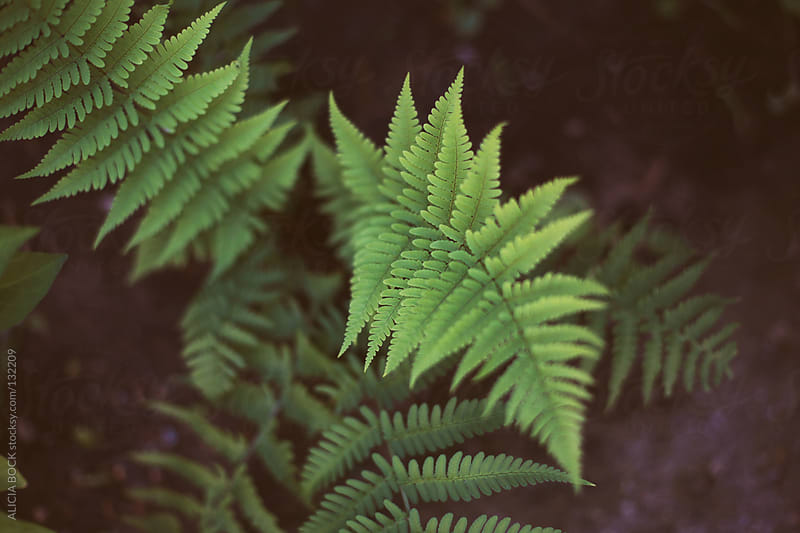 Fern Fronds by ALICIA BOCK for Stocksy United